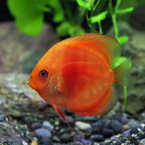 (熱帯魚)マルボロ レッド ディスカス 約6cm 1匹|fish-y