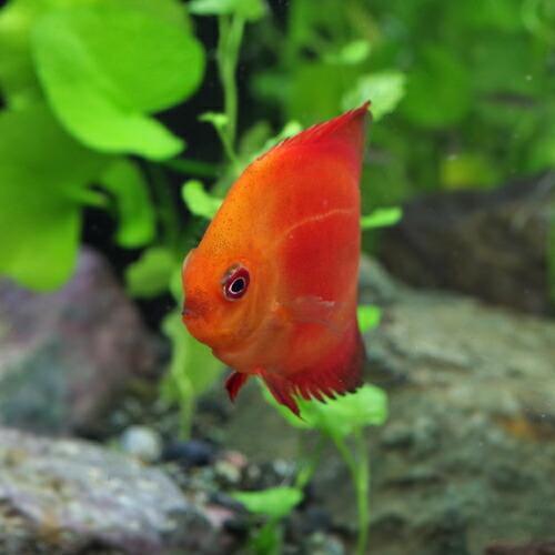 (熱帯魚)マルボロ レッド ディスカス 約6cm 1匹|fish-y|03
