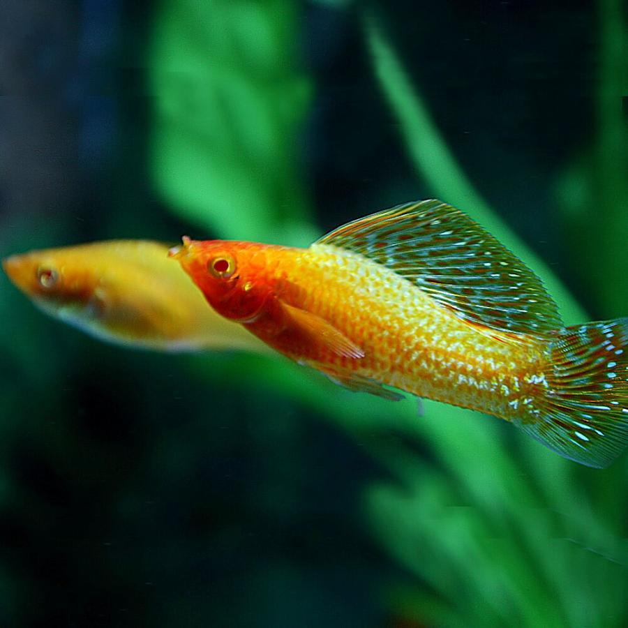 (熱帯魚)ゴールデンセルフィンモーリー 約5cm 1ペア fish-y