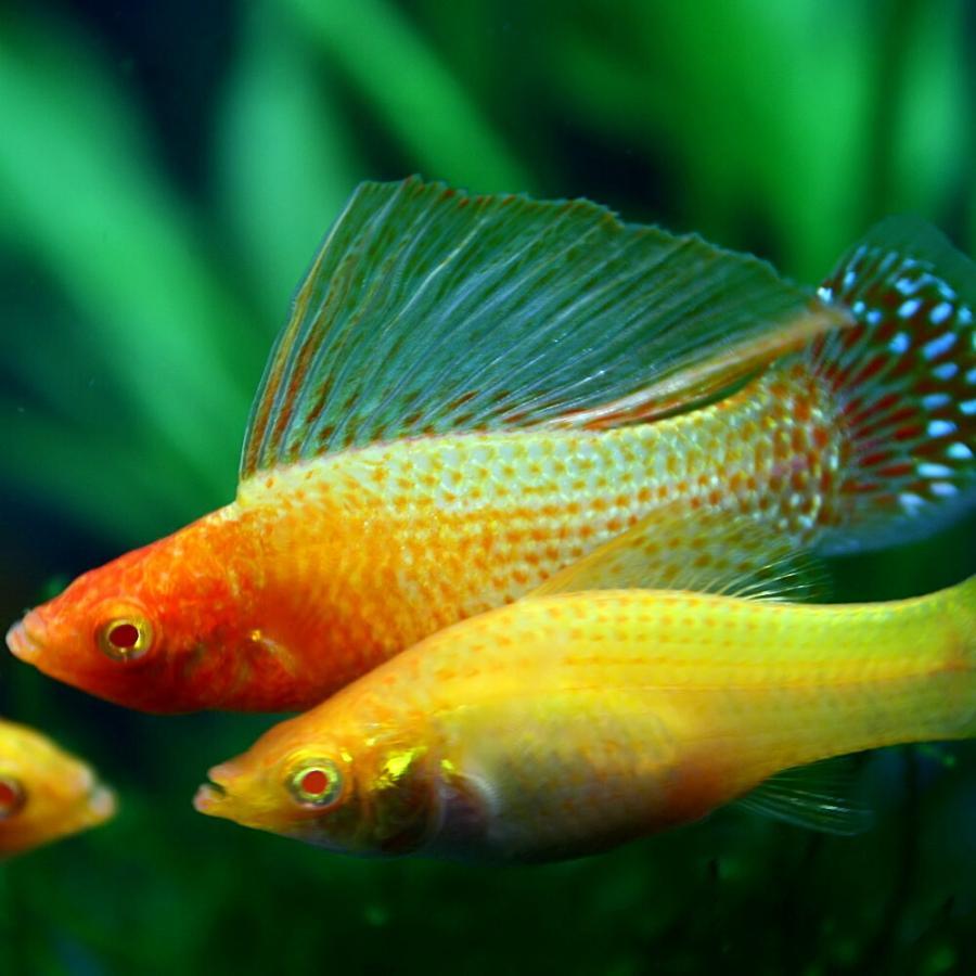(熱帯魚)ゴールデンセルフィンモーリー 約5cm 1ペア fish-y 02