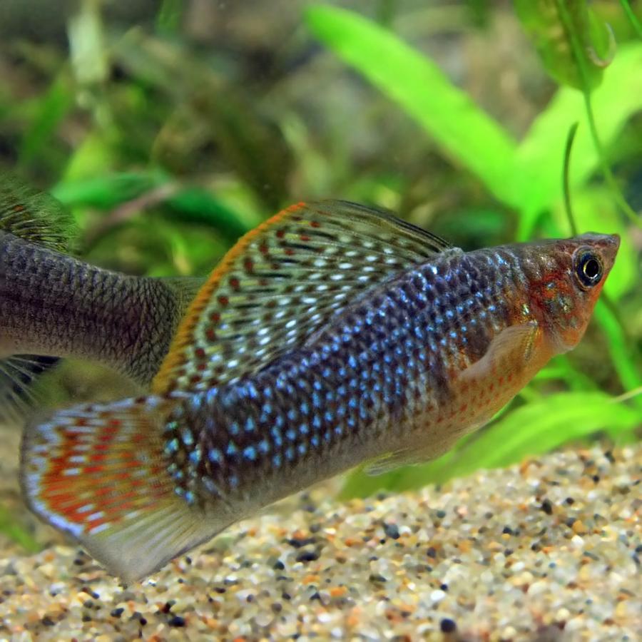 (熱帯魚)グリーンセルフィンモーリー 約5cm 1ペア|fish-y
