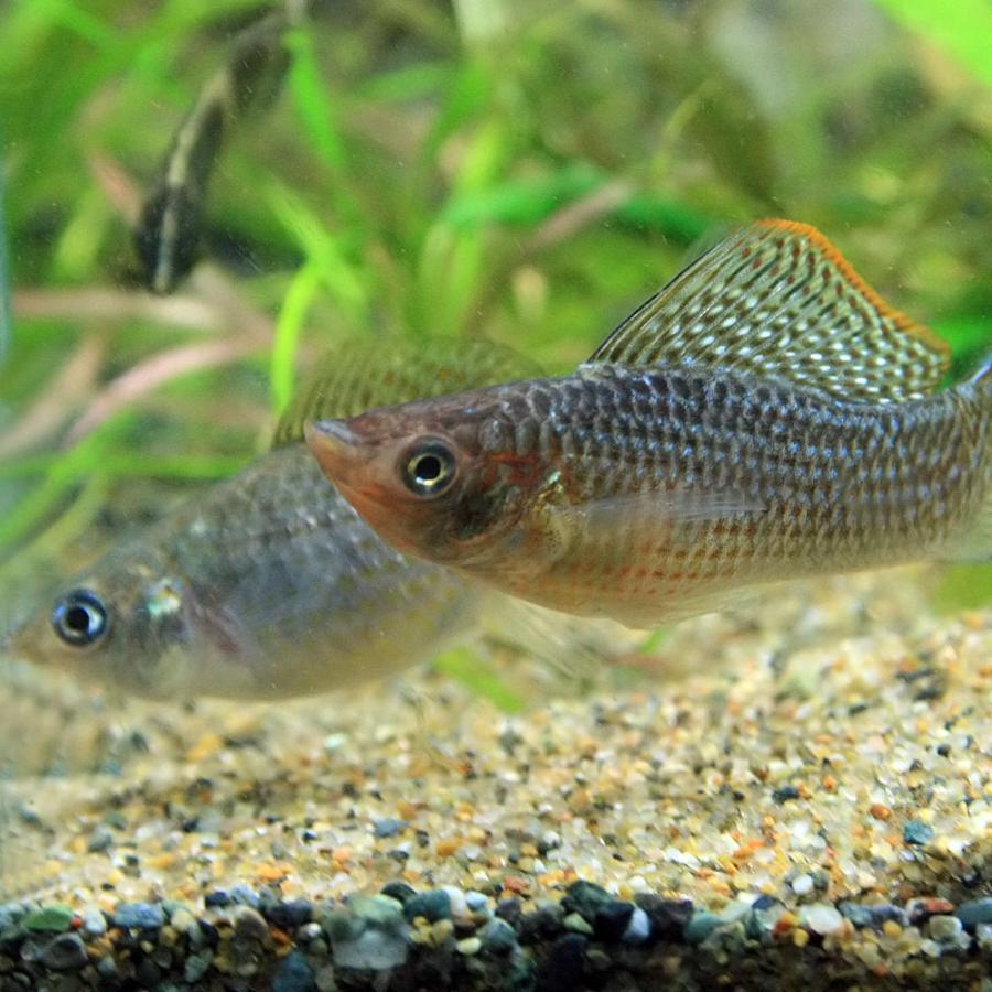 (熱帯魚)グリーンセルフィンモーリー 約5cm 1ペア|fish-y|03
