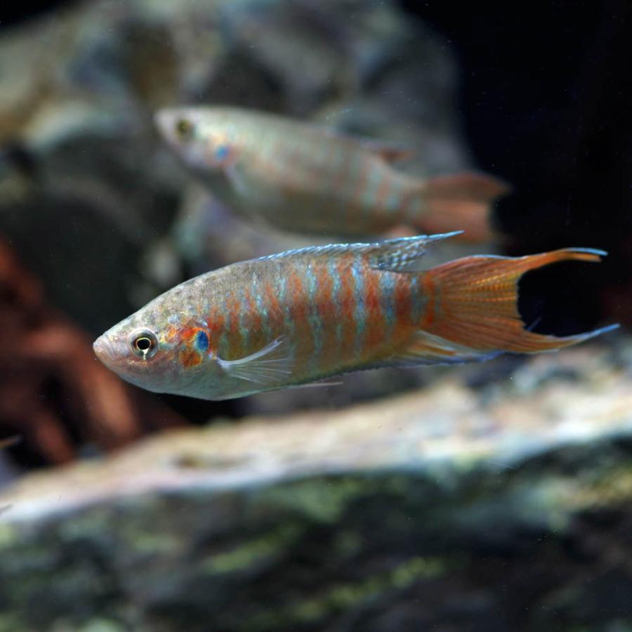 (熱帯魚)パラダイスフィッシュ 約4-5cm 1匹 fish-y