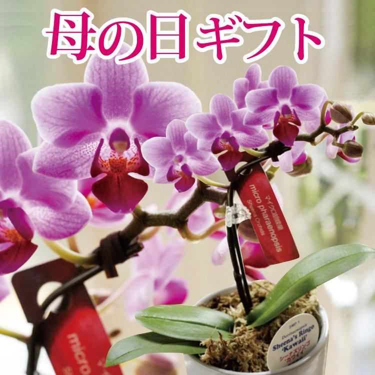 完売御礼 母の日 ギフト 2021 花 母の日選べる季節の花鉢ギフト 鉢花 マイクロ胡蝶蘭 ピンクバラ花鉢 FKHH|fkjiyugaoka