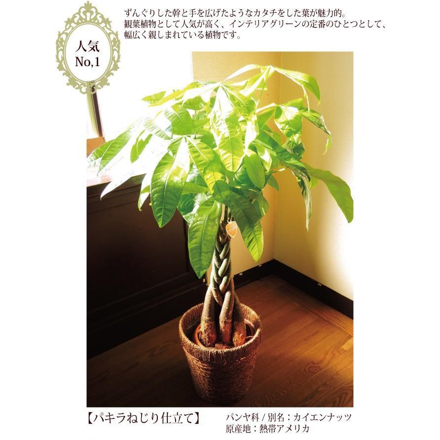 パキラ 観葉植物 パキラ の鉢植えM 7号鉢 即日発送 あすつくのグリーン ギフト 引っ越し祝い 新築祝い お祝い|fkjiyugaoka|03