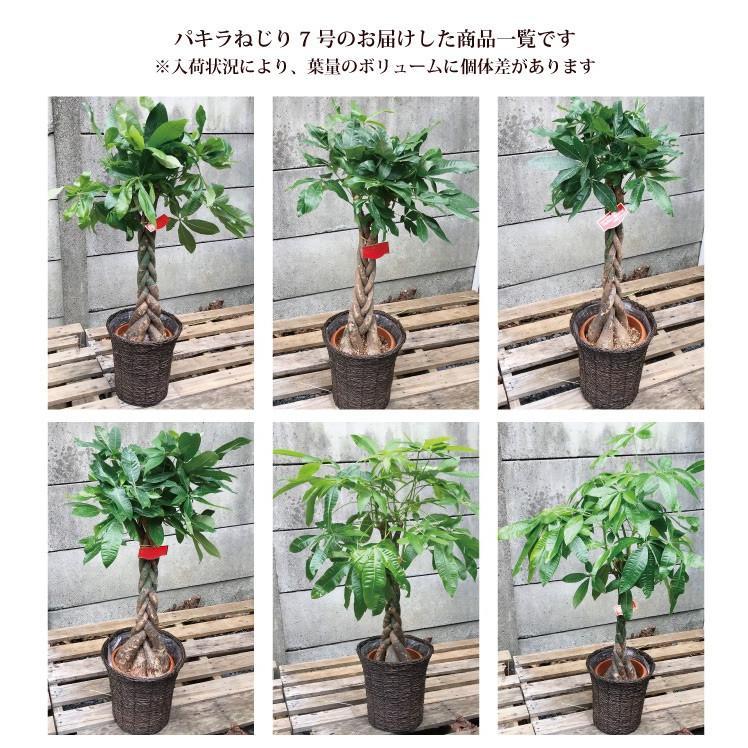 パキラ 観葉植物 パキラ の鉢植えM 7号鉢 即日発送 あすつくのグリーン ギフト 引っ越し祝い 新築祝い お祝い|fkjiyugaoka|10