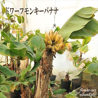 NEW バナナ苗 ドワーフ モンキーバナナ 保障 トロピカルフルーツ 10.5cmポット 観葉植物 果樹苗