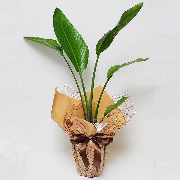 観葉植物 ストレリチア オーガスタ 6号鉢