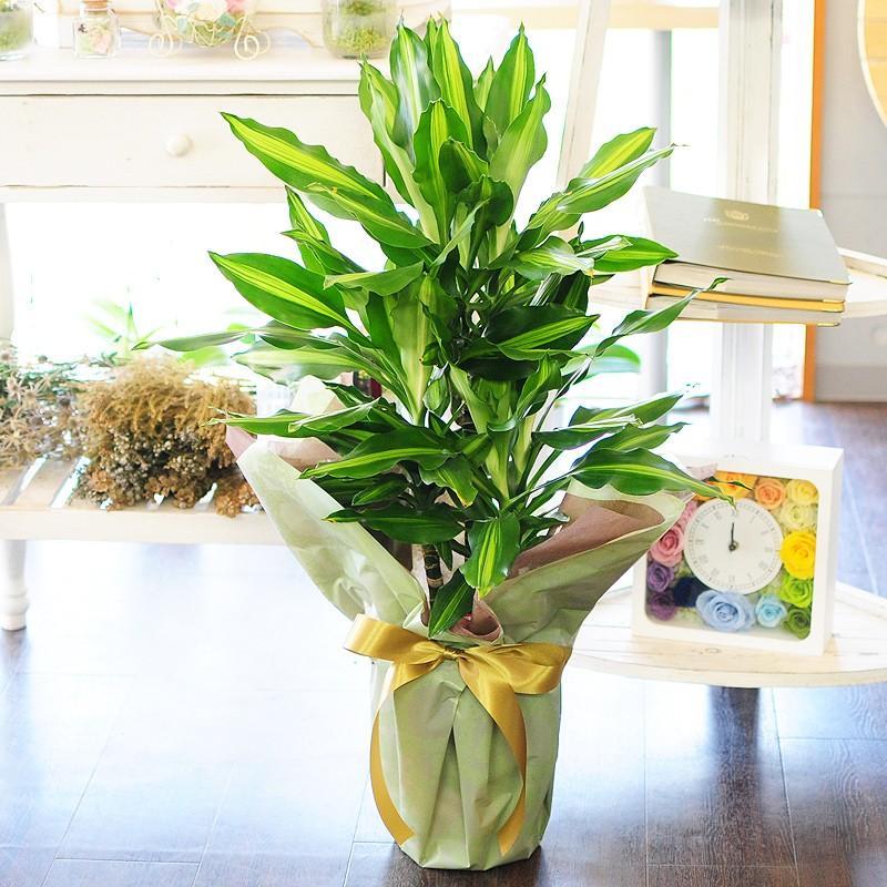 観葉植物 ドラセナ ジェレ 7号鉢