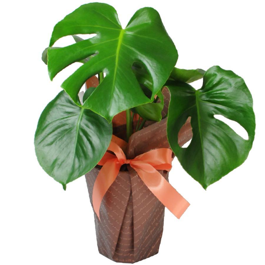観葉植物 モンステラ 6号鉢