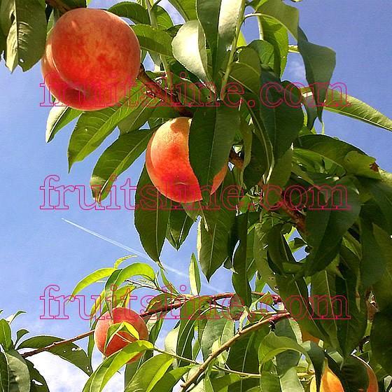 桃 山梨 お中元ギフト フルーツ 特産品 白鳳 白桃 黄金桃 硬い桃 特秀 1kg 送料無料 一部地域を除く|fruits-line|19