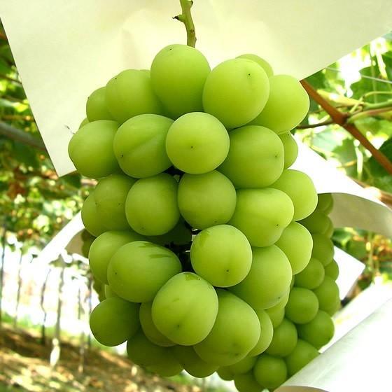 シャインマスカット贈答用 山梨 特産品 ぶどう 秀 2房入 約1Kg 敬老の日フルーツギフト 果物 のし対応可 産地直送 送料無料一部地域を除く fruits-line 02
