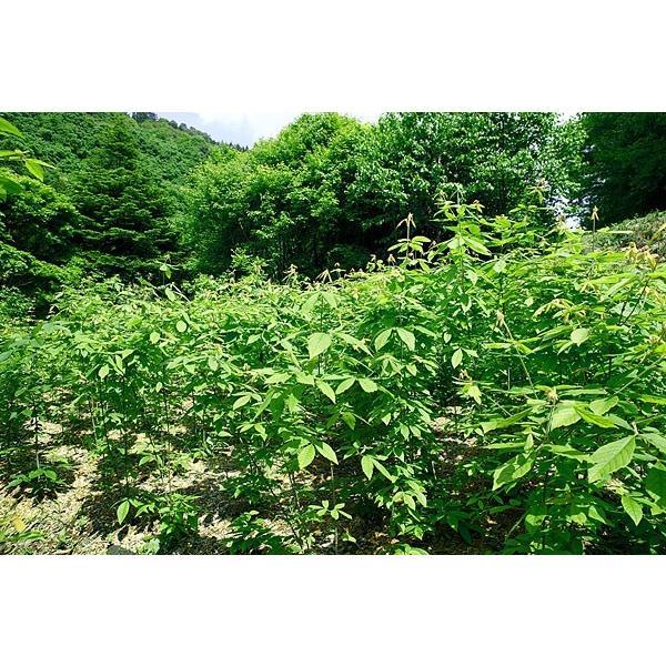 メグスリノキ茶 木の香(焙煎)|fujigreen|06