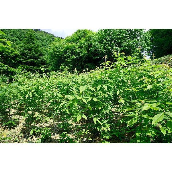 メグスリノキ茶 木の香(無焙煎) fujigreen 06