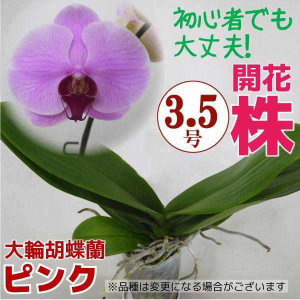 育ててみましょう大輪胡蝶蘭ピンク3.5号開花株|fujimino