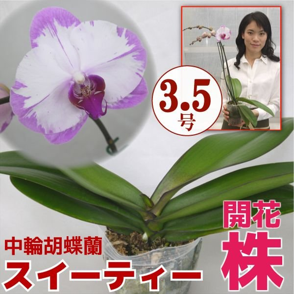 育ててみましょう中輪胡蝶蘭スイーティー3.5号開花株 fujimino