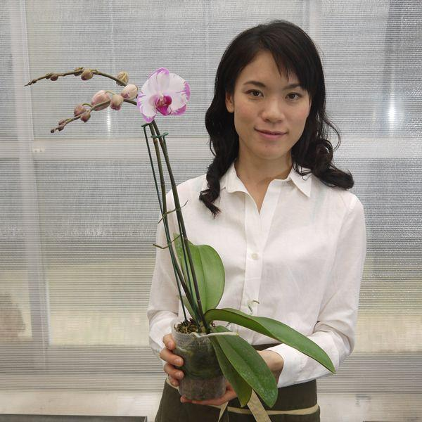 育ててみましょう中輪胡蝶蘭スイーティー3.5号開花株 fujimino 02