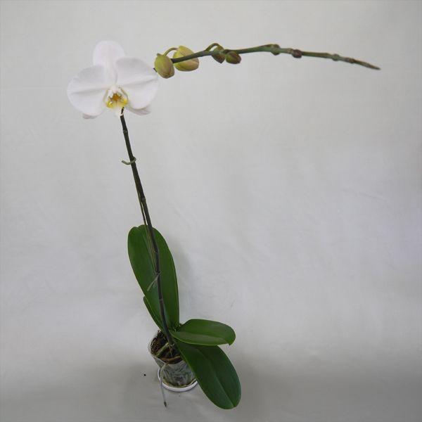 育ててみましょう大輪胡蝶蘭ビクトリーホワイト3.5号開花株|fujimino|03