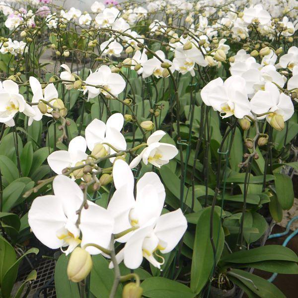 育ててみましょう大輪胡蝶蘭ビクトリーホワイト3.5号開花株|fujimino|04