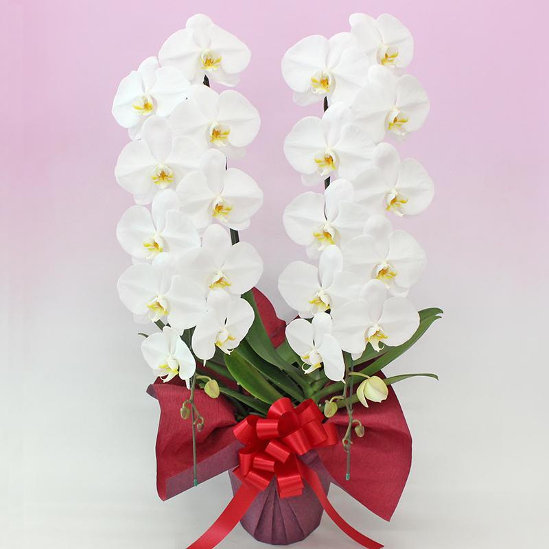 胡蝶蘭 お祝い お供え 母の日 花ギフト 大輪2本立ち8000円 選べる3種類<品質保証>お誕生日 開店祝 開業祝 新築祝|fujimino|02