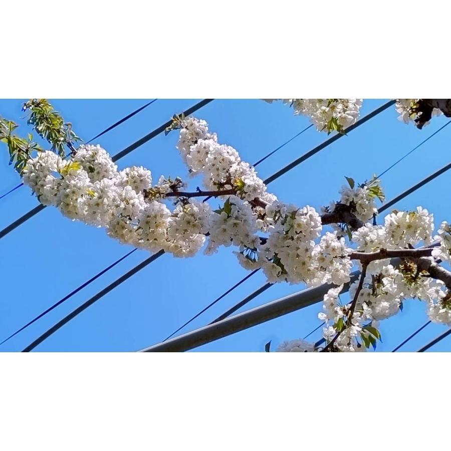 まるせい果樹園|さくらんぼ|紅秀峰|280g×4p入|fukushimamarusei|02