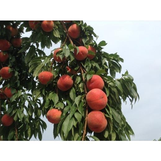 まるせい果樹園の桃 あかつき 中箱 ご贈答用 fukushimamarusei 06