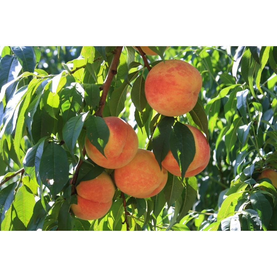 まるせい果樹園の桃 あかつき 中箱 ご贈答用 fukushimamarusei 07