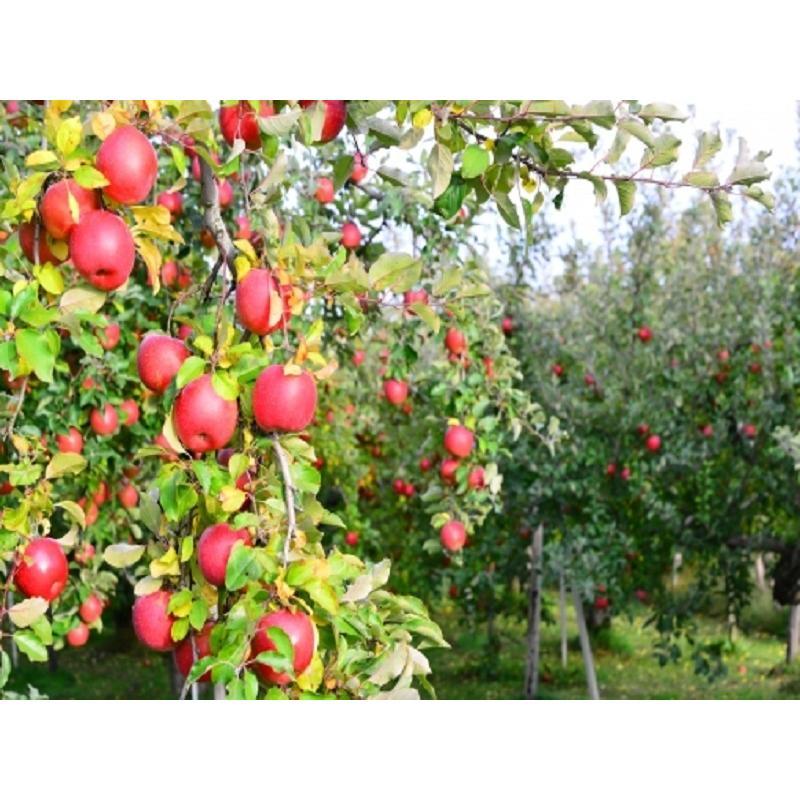まるせい果樹園訳あり りんごシリーズ 送料込 りんご リンゴ  fukushimamarusei