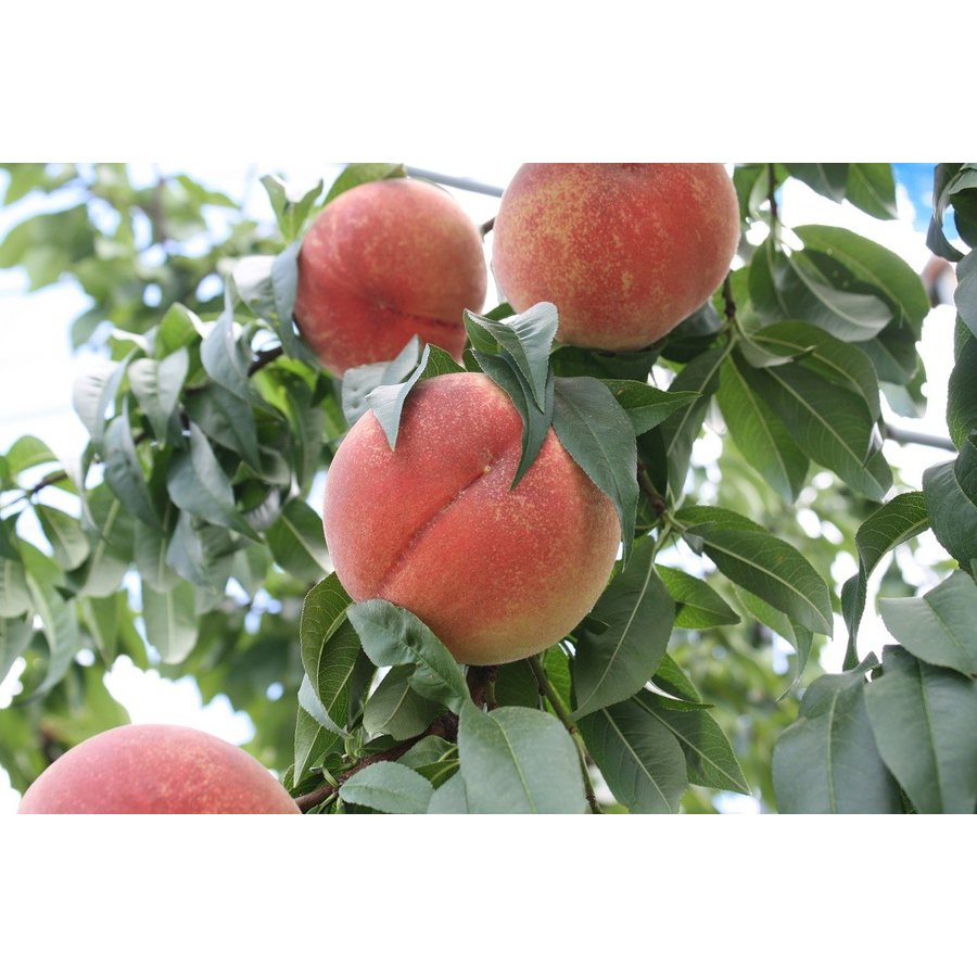 まるせい果樹園の桃 日川白鳳 ご贈答用 |fukushimamarusei|02