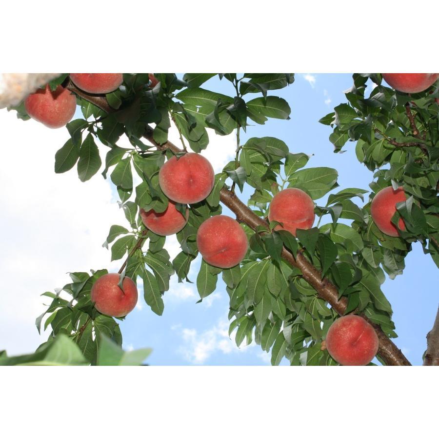 まるせい果樹園の桃 川中島白桃 ご贈答用 |fukushimamarusei|03