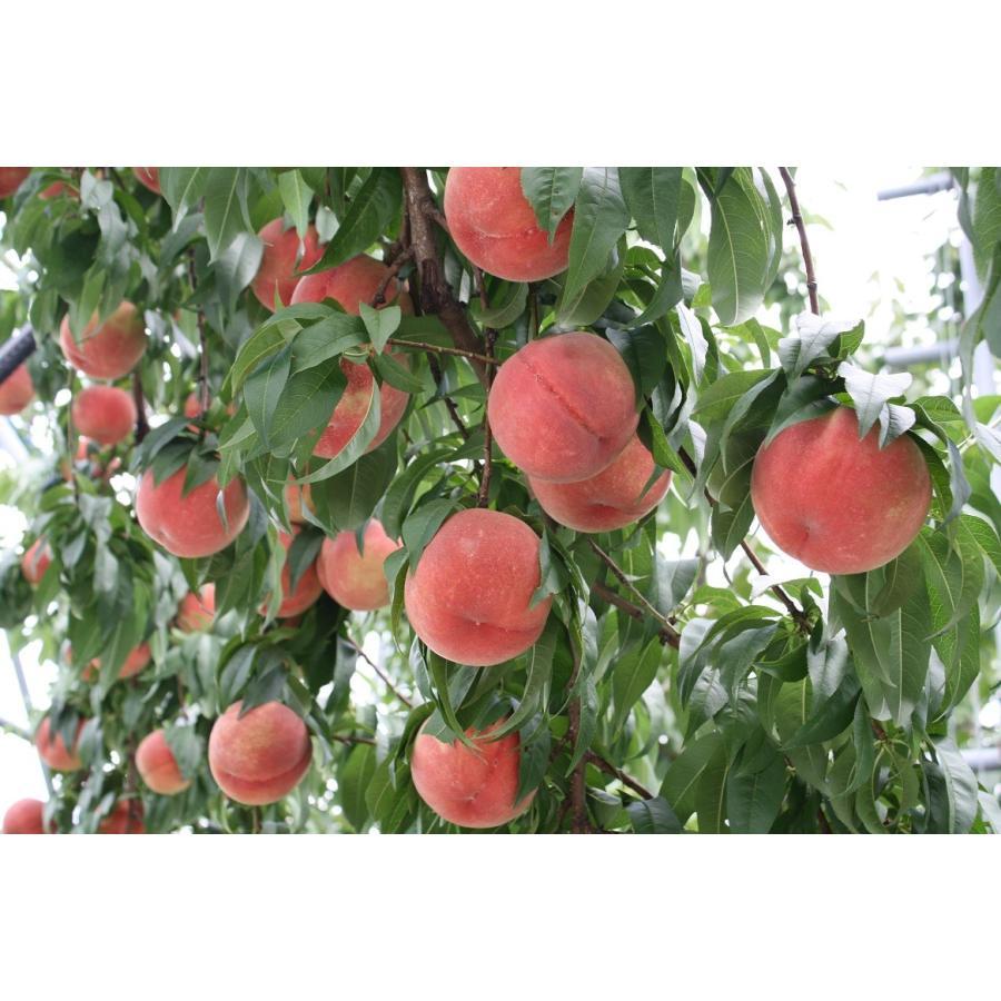 まるせい果樹園の桃 川中島白桃 ご贈答用 |fukushimamarusei|04