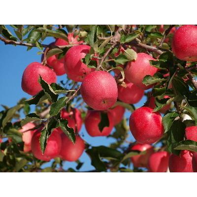 まるせい果樹園 まるかじりDコース fukushimamarusei 04