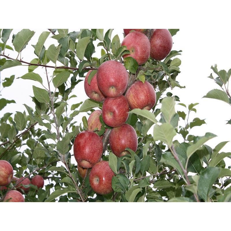 まるせい果樹園季節のりんごシリーズ 送料込 りんご リンゴ |fukushimamarusei|03
