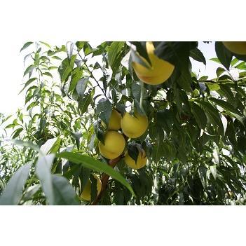 桃とシャインマスカットの詰合せ|fukushimamarusei|02