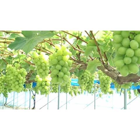 桃とシャインマスカットの詰合せ|fukushimamarusei|06