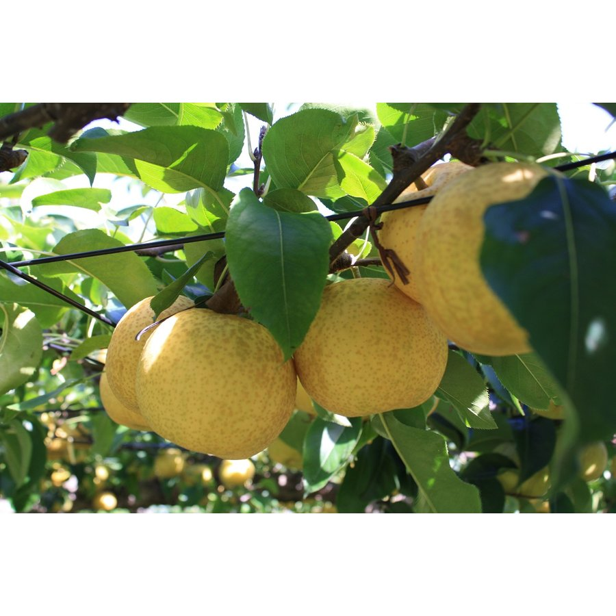 まるせい果樹園|秋のフルーツ味覚セット|fukushimamarusei|03