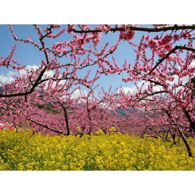 まるせい果樹園 ゆう君の桃畑めぐりコース fukushimamarusei 05