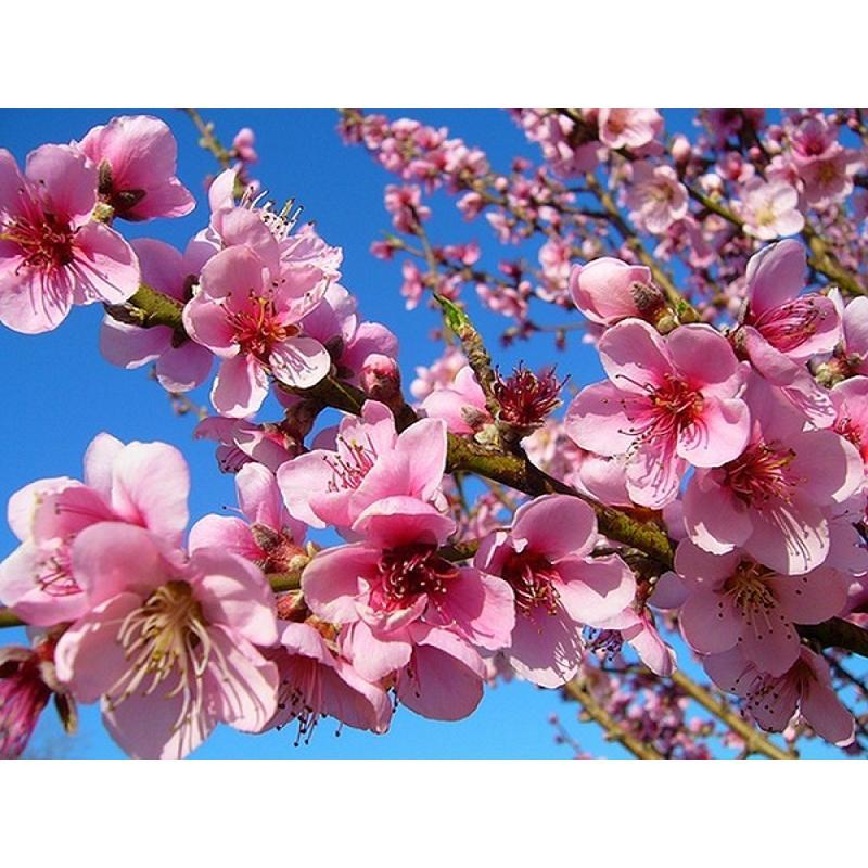 まるせい果樹園 ゆう君の桃畑めぐりコース fukushimamarusei 06