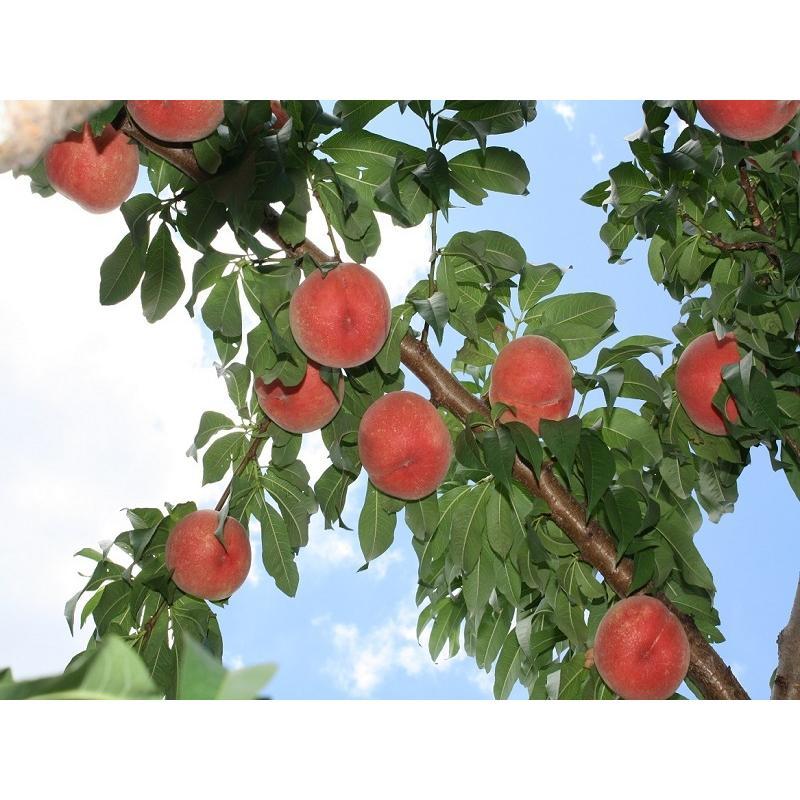 まるせい果樹園 ゆう君の桃畑めぐりコース fukushimamarusei 07