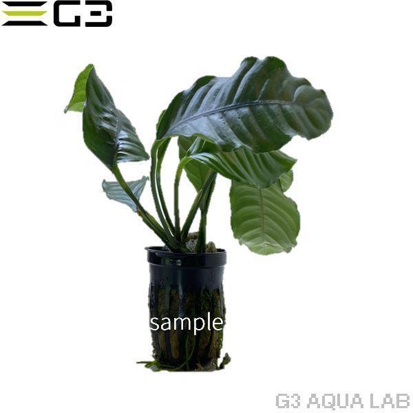 アヌビアス ナナ コーヒーフォリア 1pot (サンプル画像) g3aqualab