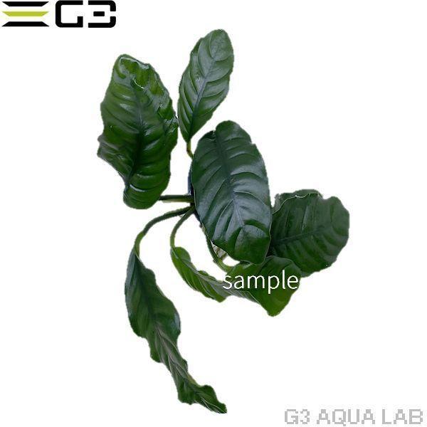 アヌビアス ナナ コーヒーフォリア 1pot (サンプル画像) g3aqualab 02