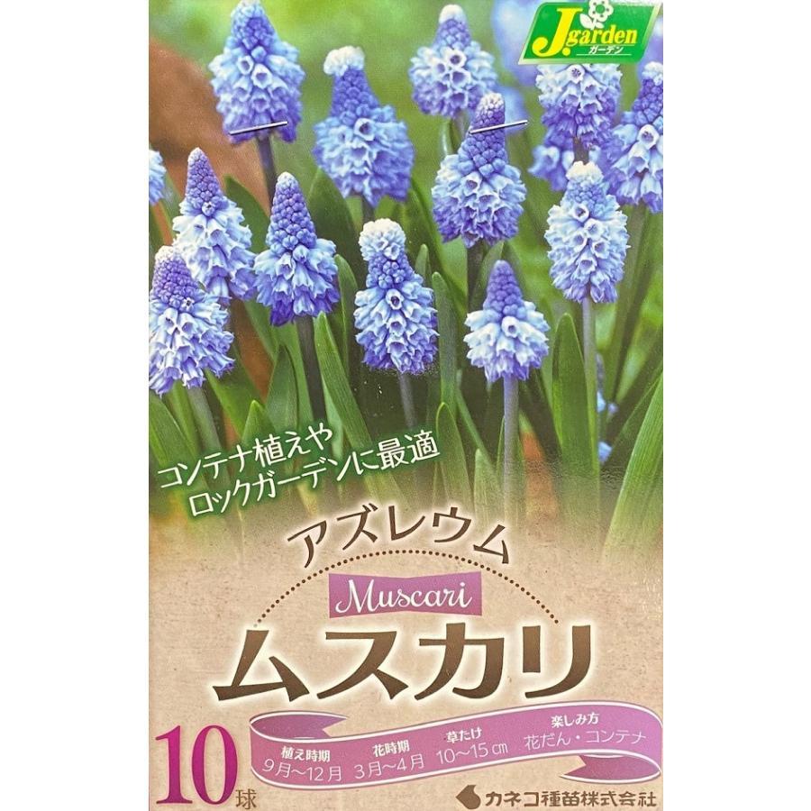 【花球根】 ムスカリ アズレウム 10球入|gardeningivy