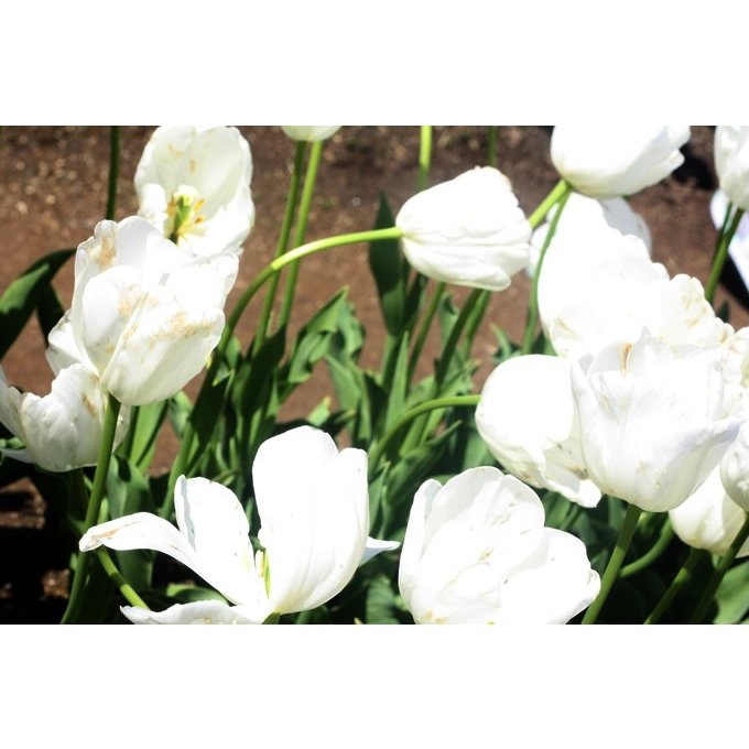 球根 チューリップ 秋植え 栽培 花壇 趣味 園芸 キュウコン チューリップ球根 雪うさぎ (5球セット)|gardenyouhin|03