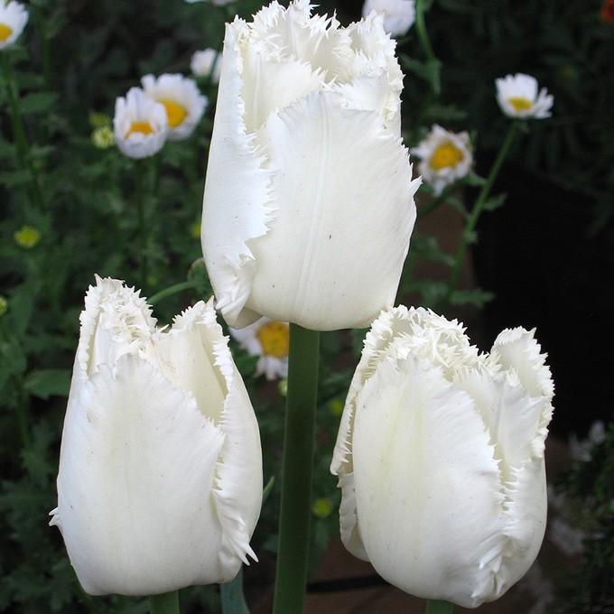 球根 チューリップ 秋植え 栽培 花壇 趣味 園芸 キュウコン チューリップ球根 スワンウィング (5球セット)|gardenyouhin