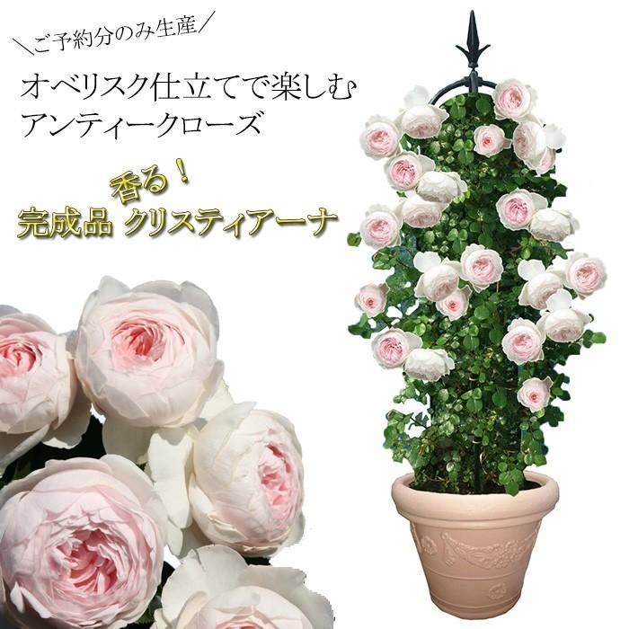 オベリスク バラ