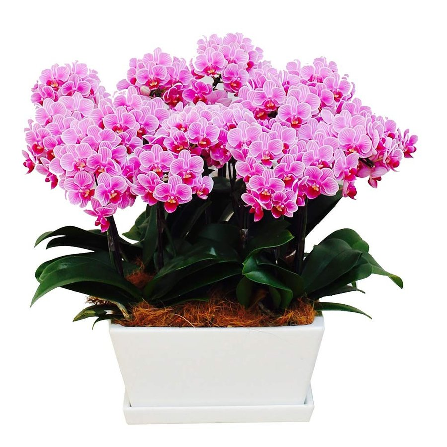 胡蝶蘭 ギフト タルト鉢 9号鉢 12本立 ピンクラッピング&メッセージ無料花のプレゼント 生花 鉢植え 開店祝いに 母の日 父の日 敬老の