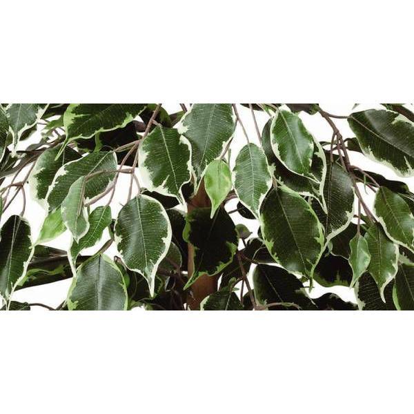 光触媒 観葉植物 鉢植え インテリアグリーン 造花 /ゴールデンフィカス 斑入り 100cm 202A15032 goodfellow 02