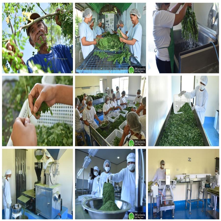無農薬・無化学肥料のモリンガ葉100%使用・有機JAS認証(オーガニック)モリンガパウダー110g green-moringa 08