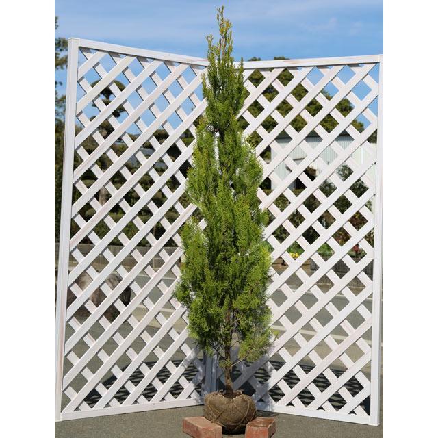 与え エレガンテシマ 1.7m露地 2本セット シンボルツリー常緑 送料無料 通販 1年間枯れ保証