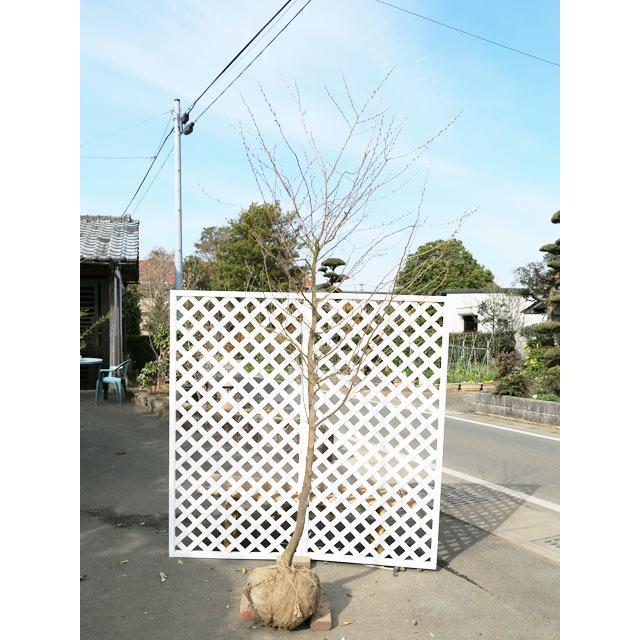 エゴノキ ピンクチャイム単木 2.5m露地 2本セット 1年間枯れ保証 シンボルツリー落葉 大型商品 個別送料5600円